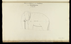 Elephant sculpture next to the five rathas. 'Sketch of the Elephant near the 5 Ruddams near Mahabalipooram. 23rd July 1816. Copied by A. McPherson.'